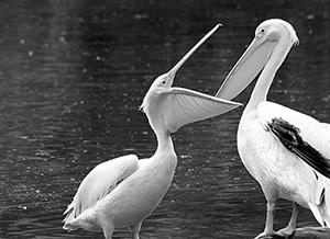 pelicans-feeding